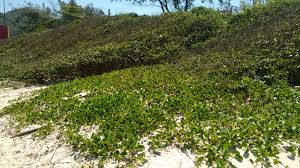 TJ decide que restinga é APP somente quando fixa duna ou estabiliza mangue